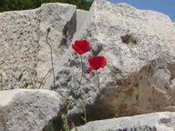 Ephesus,poppies,ruins